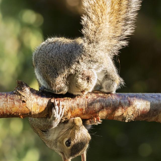 """""""A Grey Squirrel photographed at a garden bird feeder on a garden fence in..."""" stock image"""