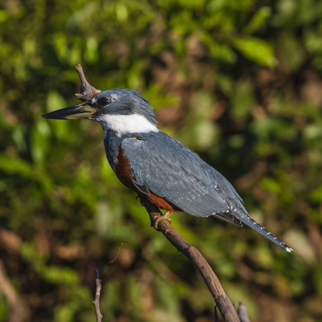 """Ringed Kingfisher (Megaceryle torquata), Pantanal, Mato Grosso, Brazil."" stock image"