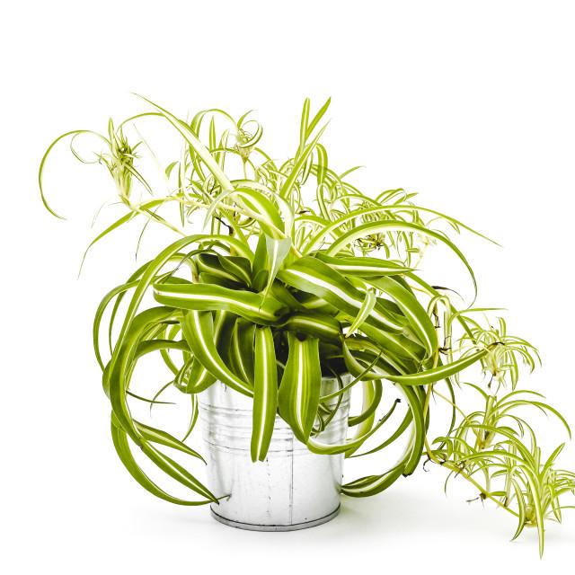 """Chlorophytum Comosum Atlantic"" stock image"
