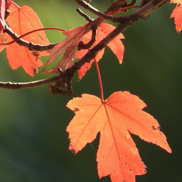 """""""A lone Hanging Leaf"""" stock image"""