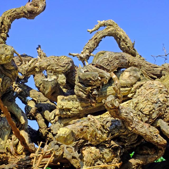 """Knarled old vines in Cairanne Vaucluse France"" stock image"