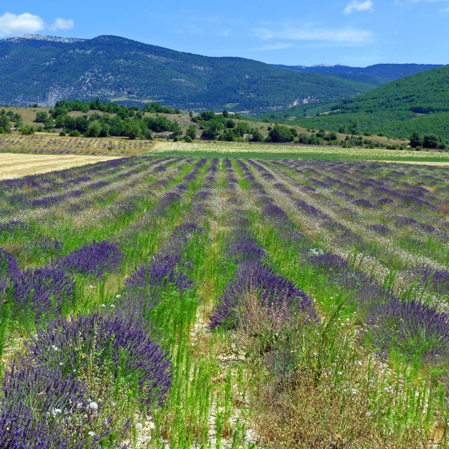 """Lavender fields outside Banon Provence France"" stock image"