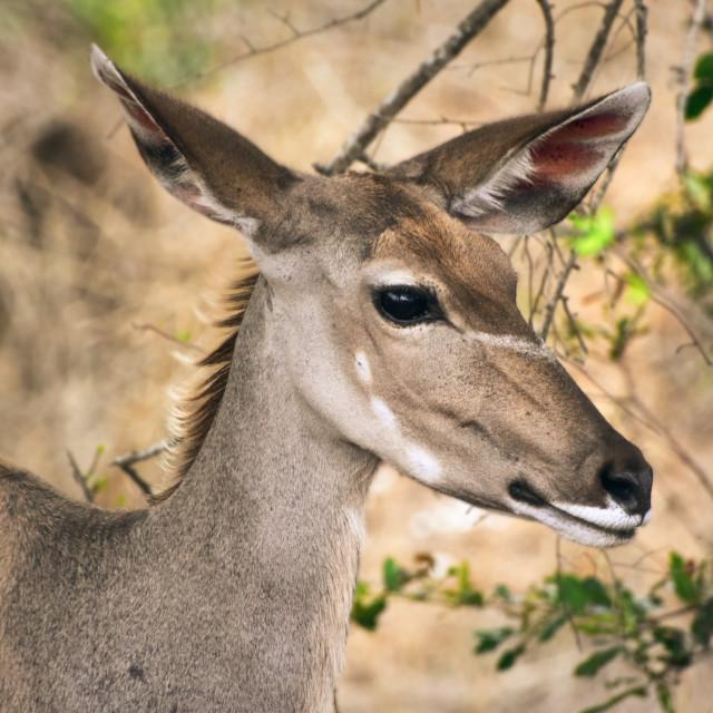 """Greater kudu"" stock image"