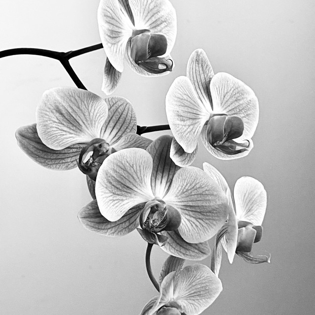 """""""Orchid Black and White"""" stock image"""
