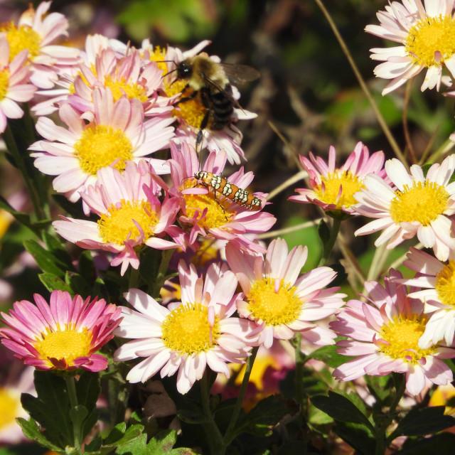 """Bee & Ailanthus Webworm"" stock image"