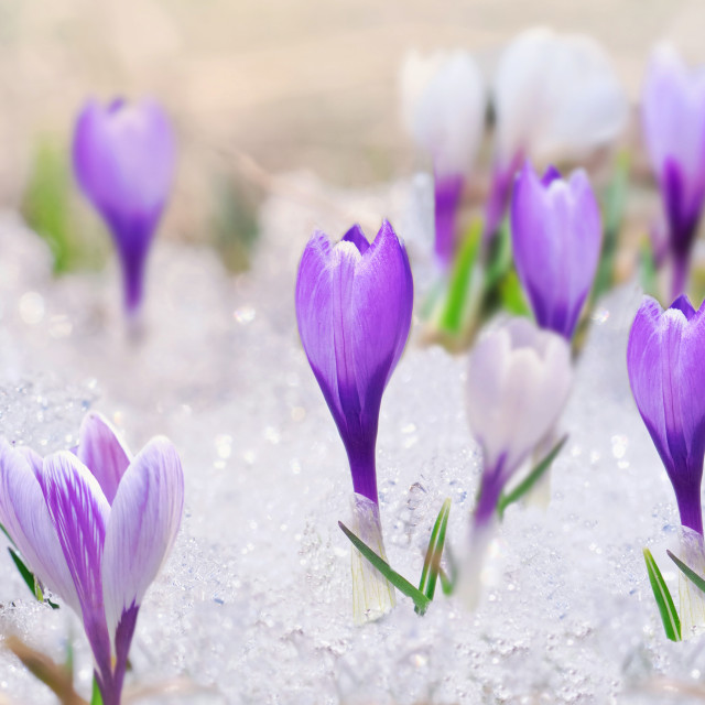 """""""panoramic view on crocus blooming in the snow"""" stock image"""