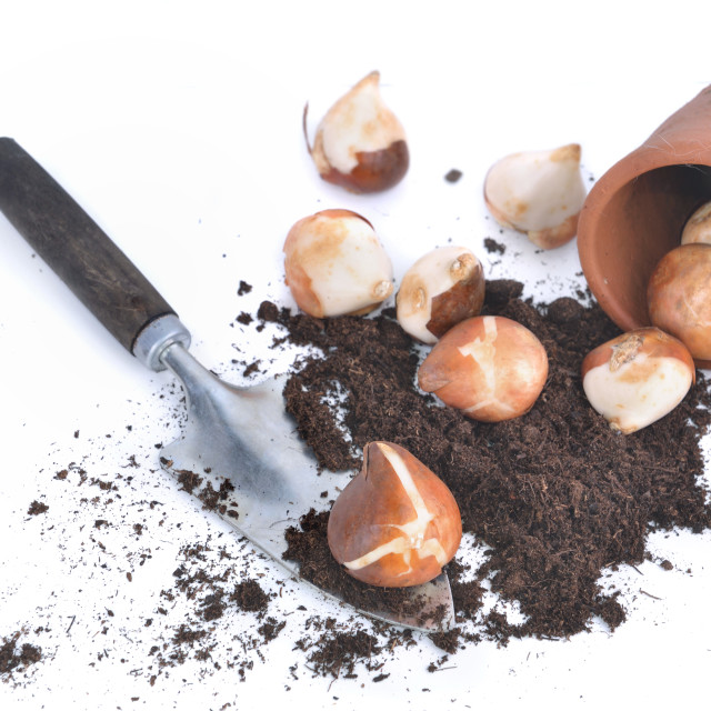 """""""tulips bulbs in soil with a little shovel and a flower pot spilled on white background"""" stock image"""