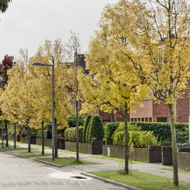 """""""Yellow ash trees in a city street"""" stock image"""