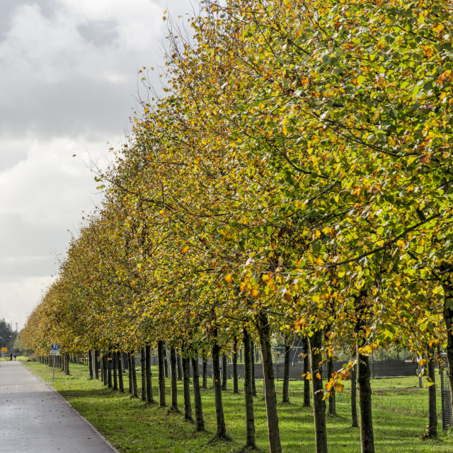 """""""Rows of linden trees"""" stock image"""