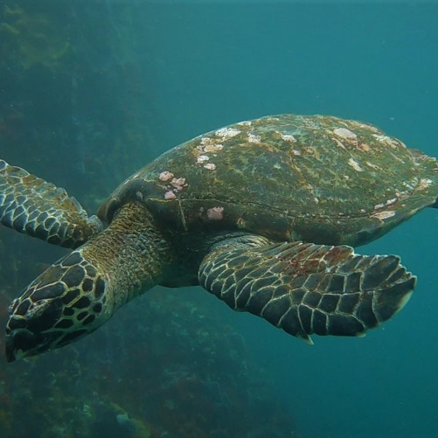 """marine turtle"" stock image"