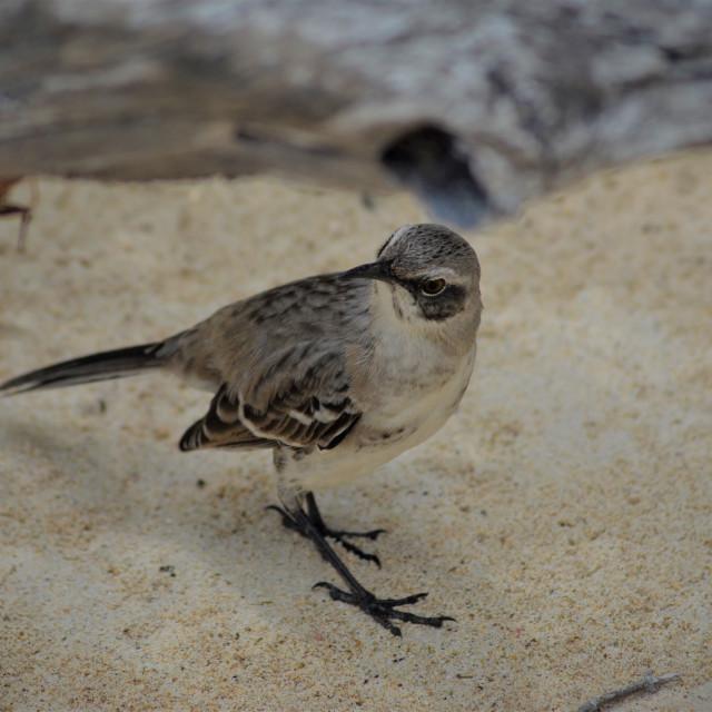 """""""Chatham Mockingbird"""" stock image"""