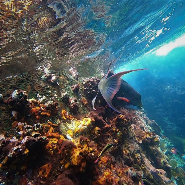 """""""Mexican Hogfish and marine landscape"""" stock image"""