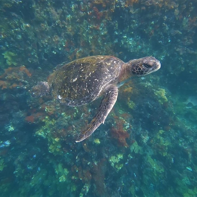 """Green Pacific sea turtle"" stock image"