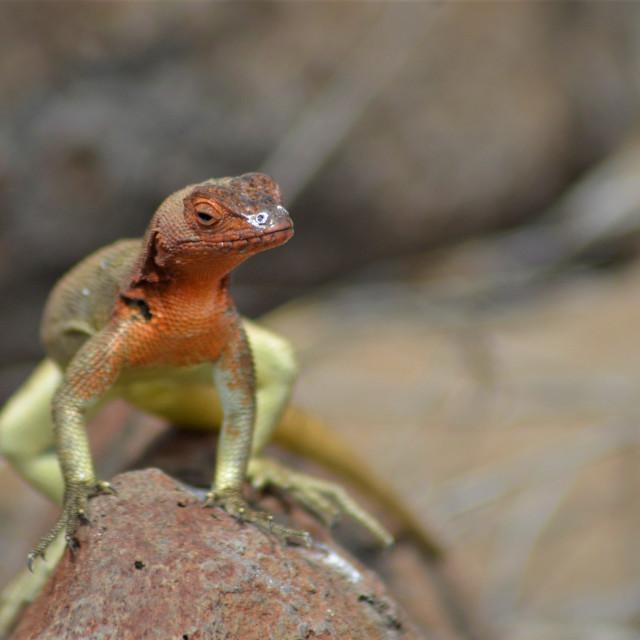 """Española Lava Lizard"" stock image"