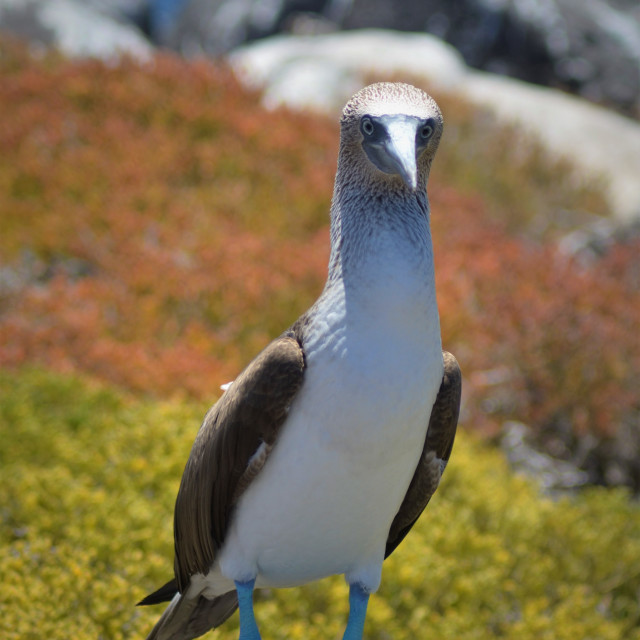 """""""Blue Footed Booby"""" stock image"""