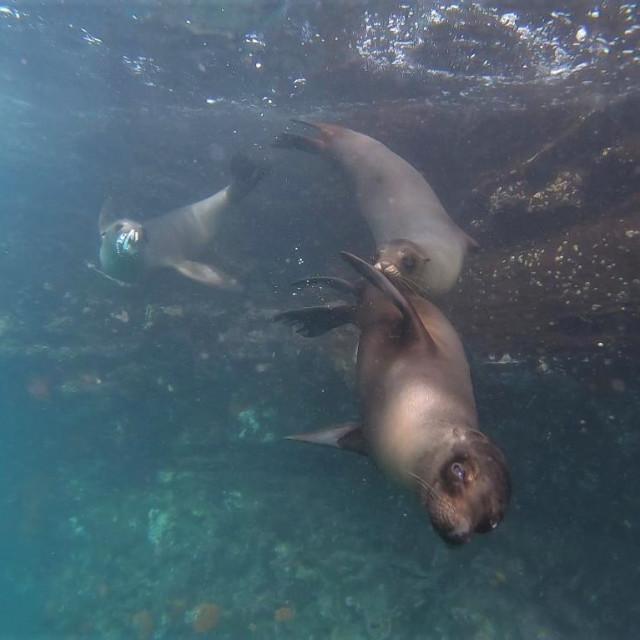 """""""sea lions underwater"""" stock image"""
