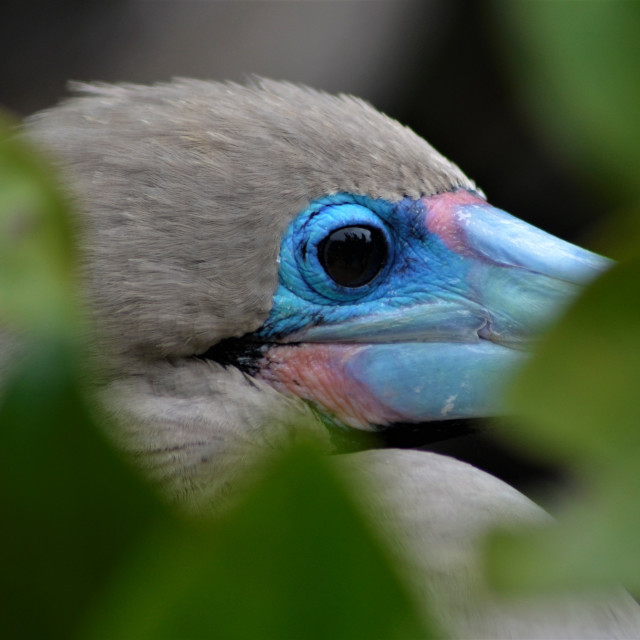 """""""Red Footed Booby"""" stock image"""
