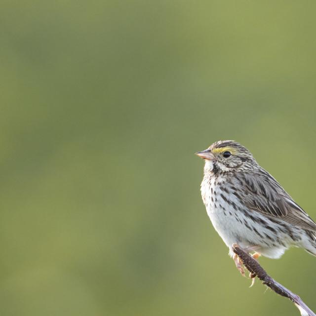 """""""Savannah Sparrow"""" stock image"""