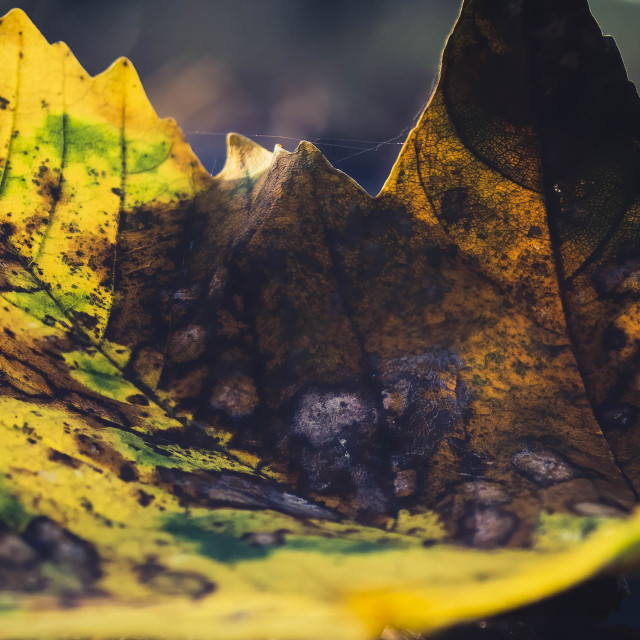 """Autumn Leaf from Thetford Forest, High Lodge,, Brandon UK."" stock image"