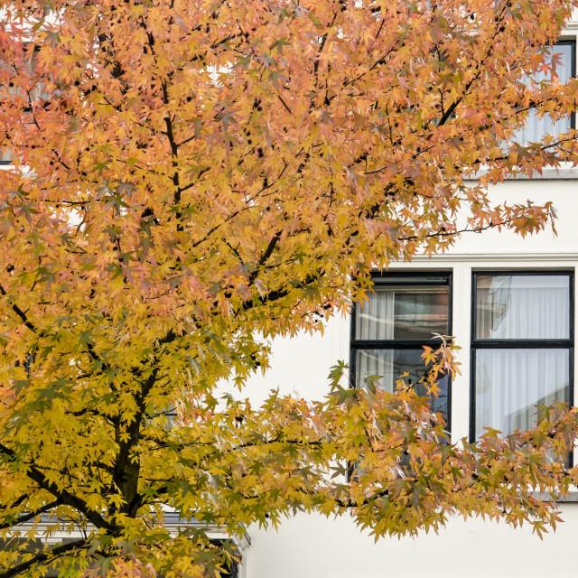 """Sweetgum tree and white plaster"" stock image"