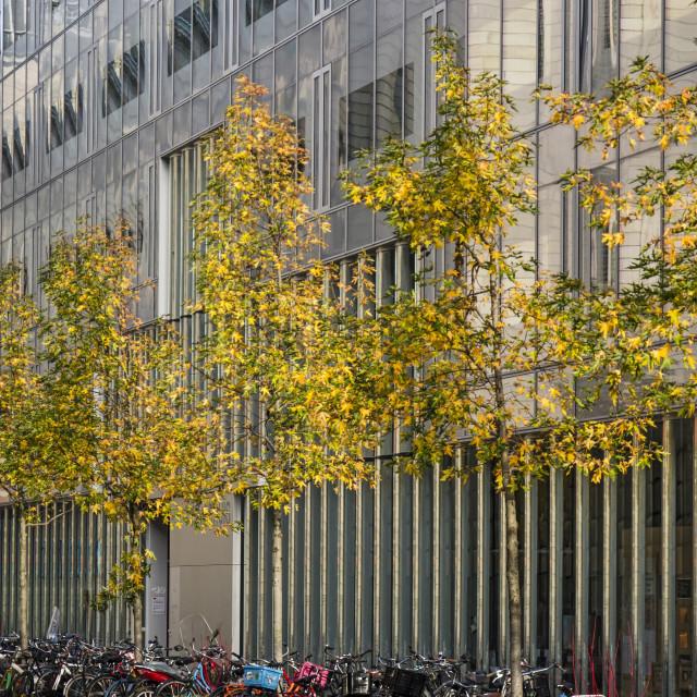 """Sweetgum trees in autumn"" stock image"