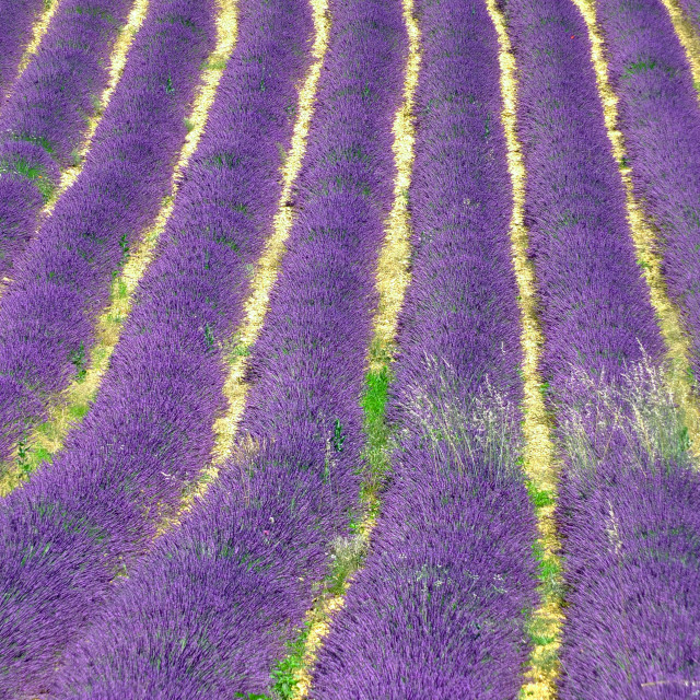 """""""Lavender field near to Banon Provence France"""" stock image"""