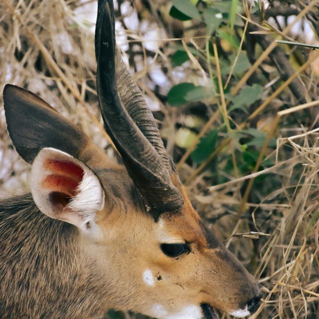 """Cape bushbuck"" stock image"