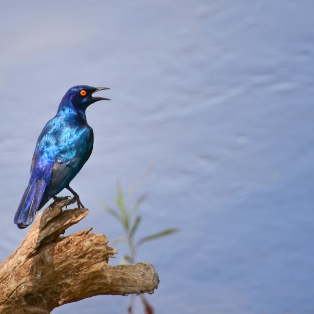 """""""Cape glossy starling"""" stock image"""