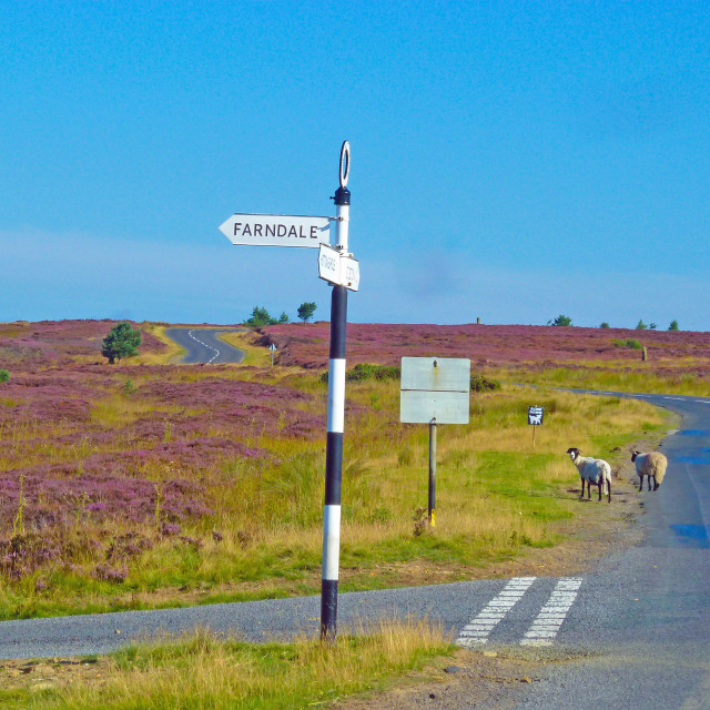 """""""Rush hour on the North Yorkshire Moors"""" stock image"""