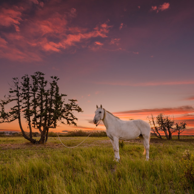 """The white horse"" stock image"