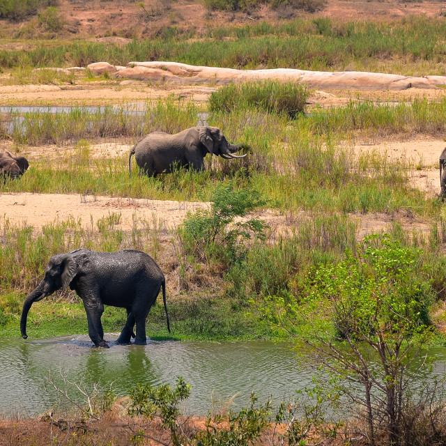"""Elephants in Kruger NP"" stock image"