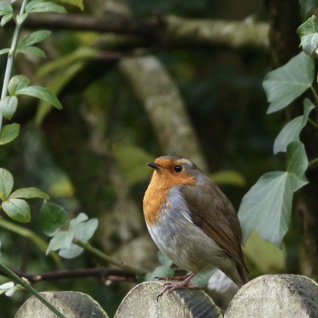"""""""A plump robin sitting on a wooden fence"""" stock image"""