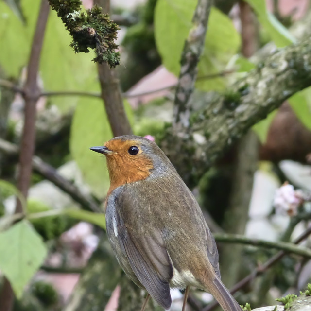 """Robin on a Vibernum Bodnantense branch"" stock image"
