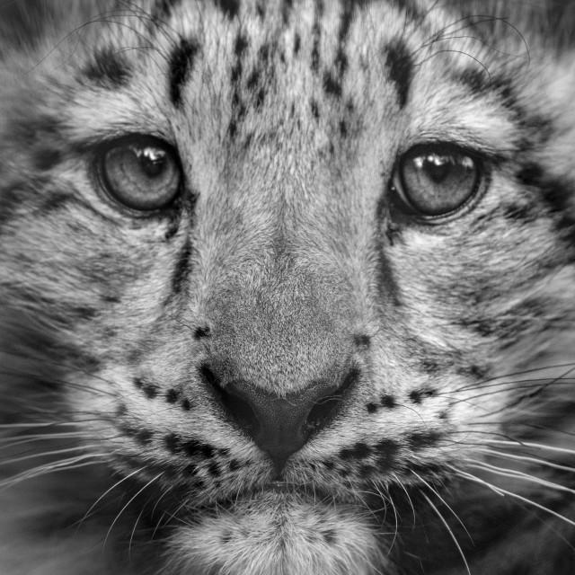 """Snow leopard cub (close-up)"" stock image"
