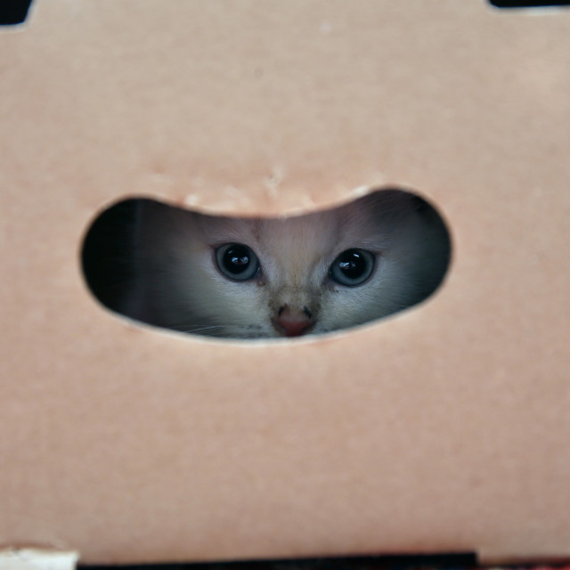 """A beautiful young British cat hidden in a box sits patiently and waits,"" stock image"