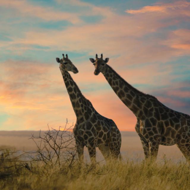 """Two giraffes in Etosha National Park, Namibia"" stock image"
