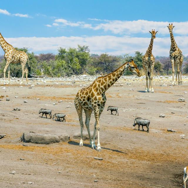 """Giraffes near a water hole in Etosha National Park, Namibia"" stock image"