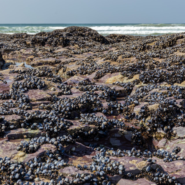 """""""Wild blue mussels, Mytilus edulis, on the rocks in Cornwall, UK"""" stock image"""