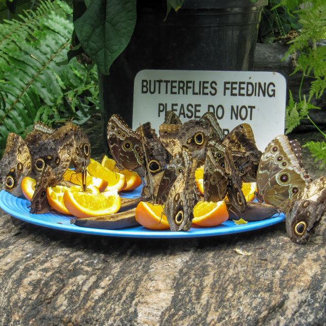 """""""Giant owl butterflies feeding on cut fruit in a butterly conserv"""" stock image"""