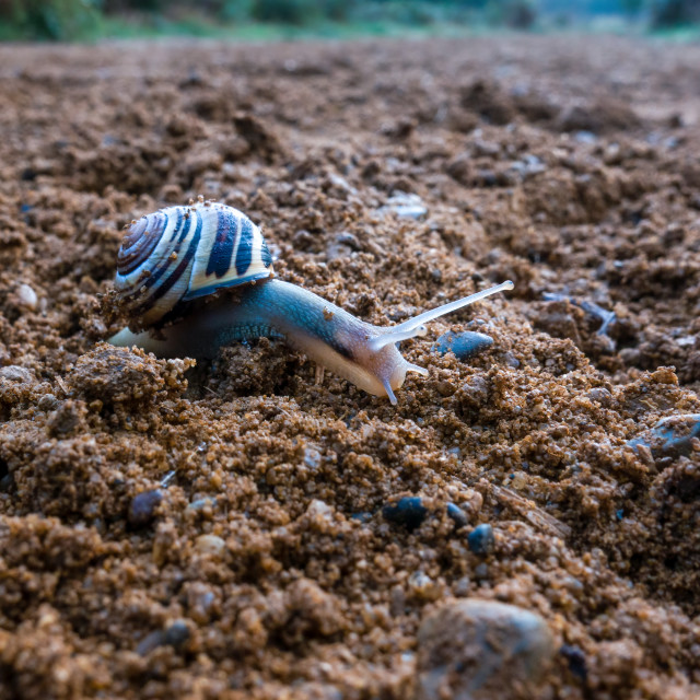 """""""A brown-lipped snail crawling across a sandy path"""" stock image"""