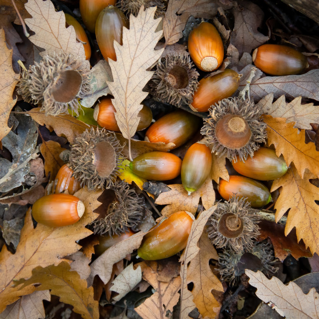 """""""Close up of ripe acorns and oak leaves on the floor of a UK woodland"""" stock image"""