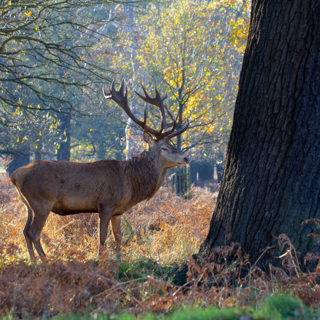 """""""Male Red Deer in Richmond Park"""" stock image"""