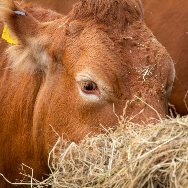 """""""Limousin cows being hand fed hay"""" stock image"""