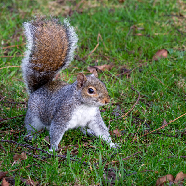 """""""Grey squirrel foraging in the autumn leaves"""" stock image"""