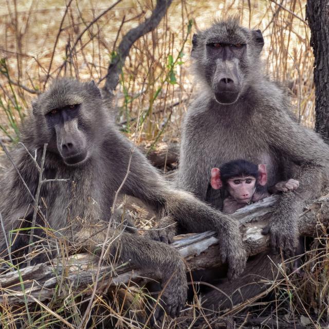 """Baboon family"" stock image"