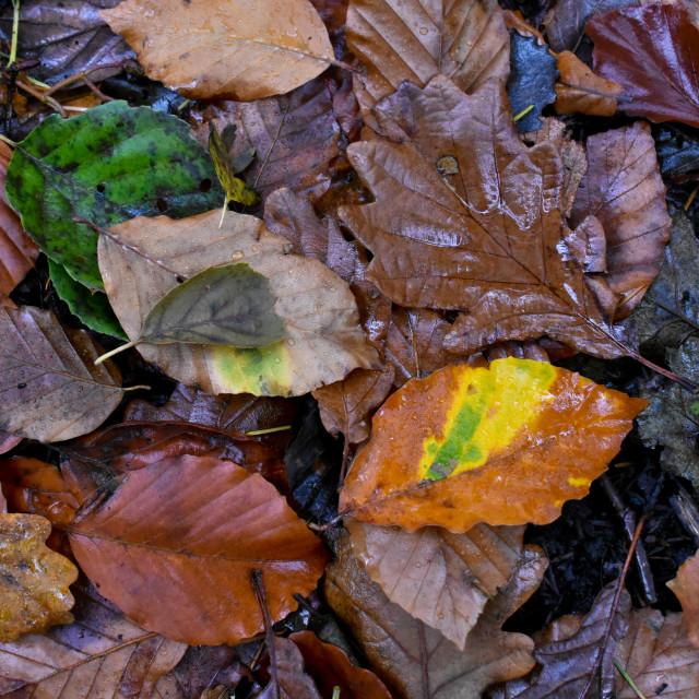 """Autumn Leaves #13"" stock image"
