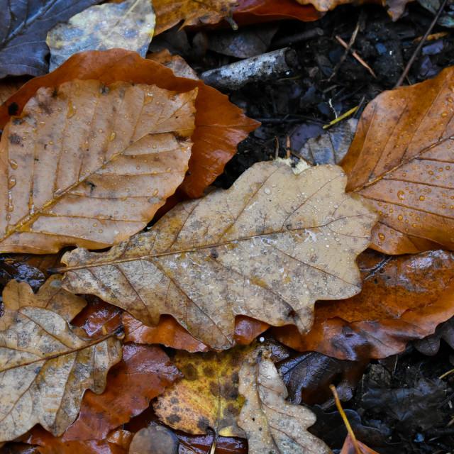 """Autumn Leaves #15"" stock image"