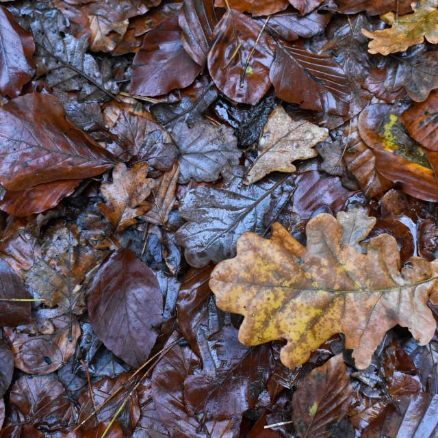 """Autumn Leaves #17"" stock image"
