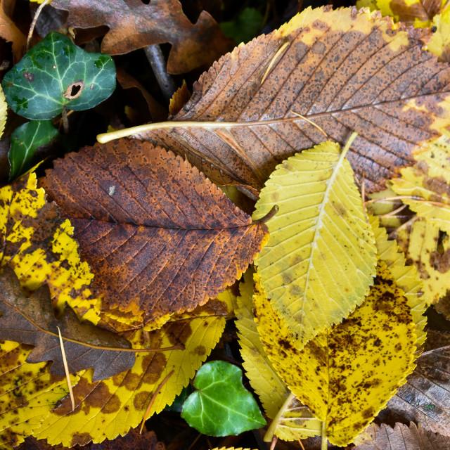 """Autumn Leaves #19"" stock image"