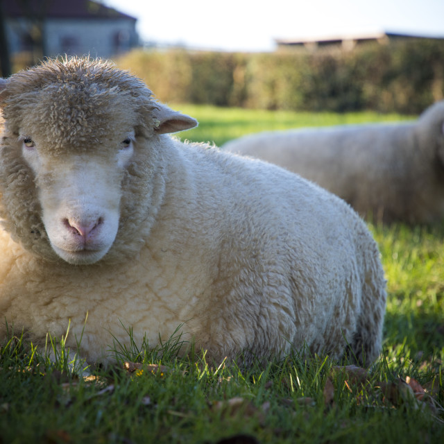 """Sheep laying down in lush farmland in evening sunshine"" stock image"